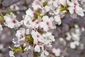 Kleurrijke lente bloesem in het zonnetje van J..M de Jong-Jansen