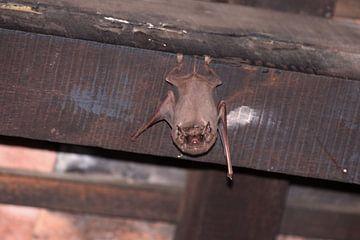 Bat in Vietnam van Mark Veefkind