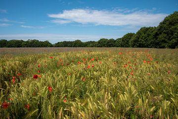 Mohnblumen in einem Feld mit Mais von Miranda Snoeijen