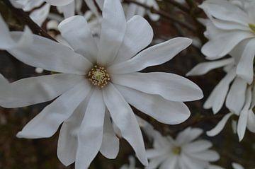 witte ster von Clementine aan de Stegge