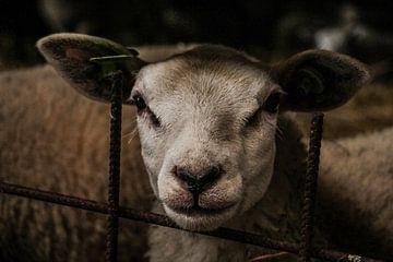schapenkop van anouk kemper