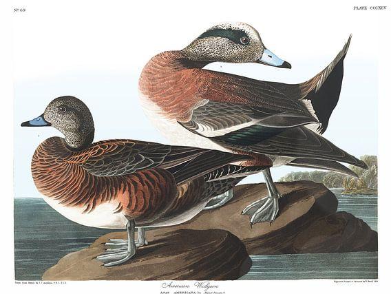 Amerikaanse Smient van Birds of America