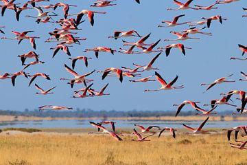 Roze vlucht - Flamingo van Sharing Wildlife