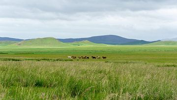 Wilde paarden in Mongolië