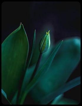 Tulp von Jeffrey Dolkens