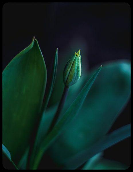 Tulp van Jeffrey Dolkens
