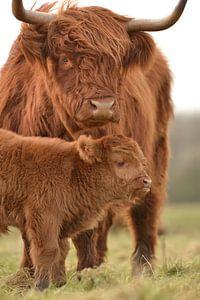 Schotse hooglander moeder met kalf