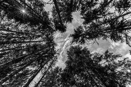 Reuzen in het bos(zwart wit) van
