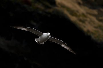 Noordse stormvogel (IJsland) sur Marcel Antons
