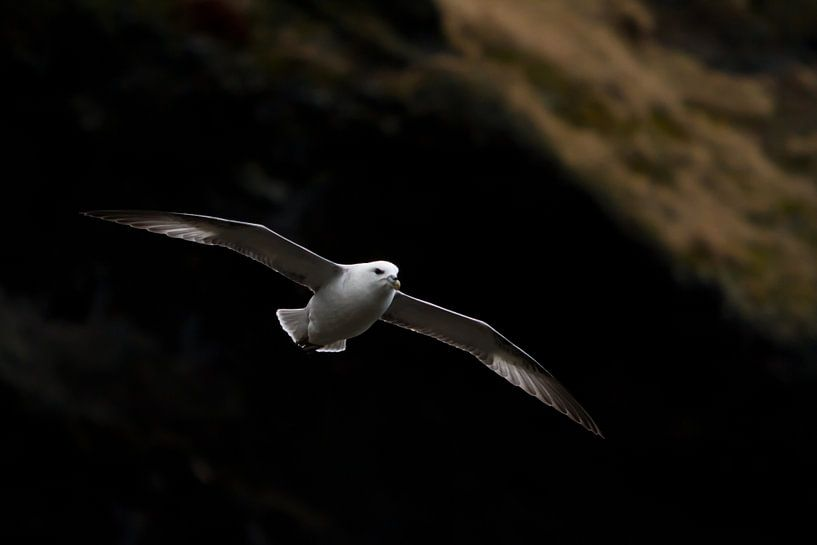 Noordse stormvogel (IJsland) van Marcel Antons