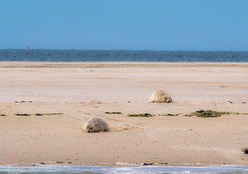 Robben liegen auf einer Sandbank von Merijn Loch
