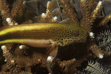 Vis rust op hard koraal van M&M Roding