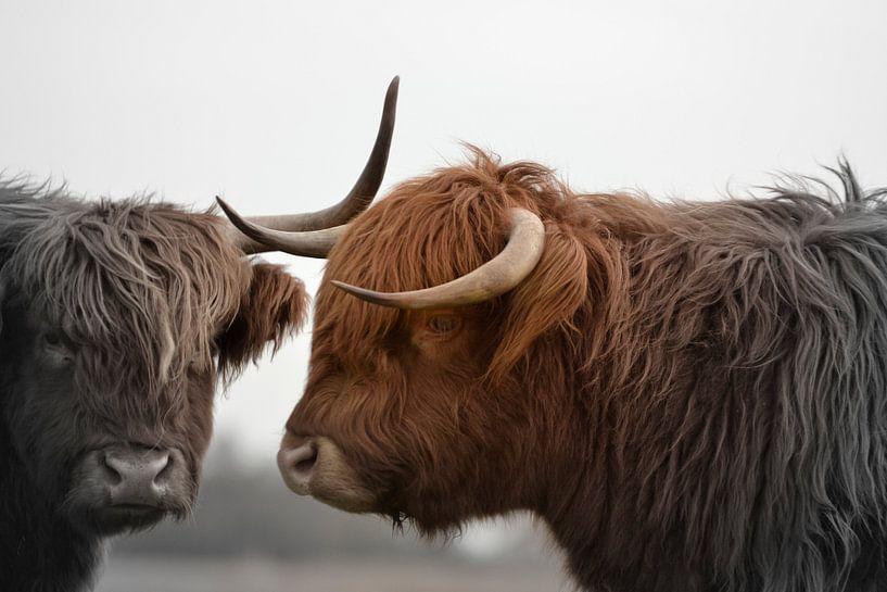 Schotse hooglanders 2 koppen 2 kleurig van Sascha van Dam