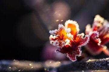 De pracht van de bevroren bloem van de Japanse sierkwee van dichtbij. van Joeri Mostmans