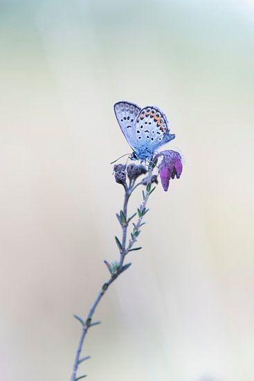 Heideblauwtje op de dopheide. van Francis Dost