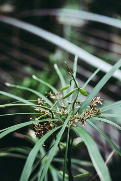 Botanische Pflanze - Ballerina von