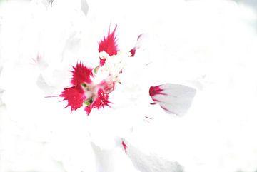 Rood  wit tulp van Marianna Pobedimova