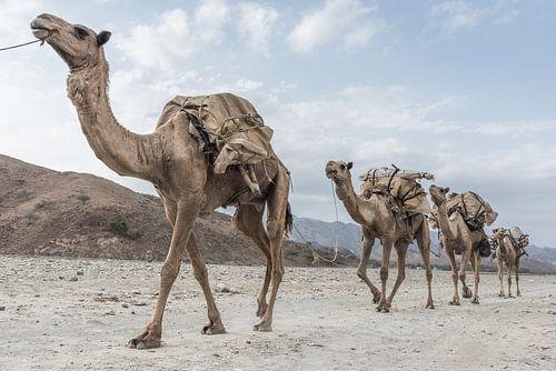 Kamelenkaravaan door de woestijn | Ethiopië
