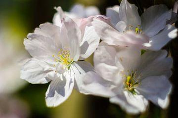 Japanse kers van dichtbij van Joke Beers-Blom