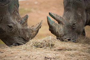 2 neuzen van neushoorns bij elkaar van