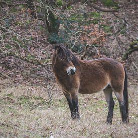 Exmoor pony in de duinen van Bergen aan Zee van Marjolijn Barten