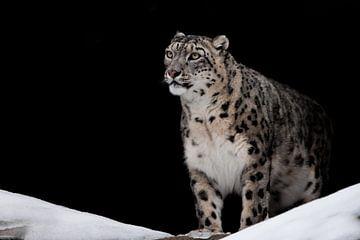 Trots kijkend. Likte. De sneeuwluipaard is een krachtig en mooi roofdier in de sneeuw tegen een donk van Michael Semenov