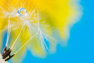 Makro einer Pusteblume mit Wassertropfen von ManfredFotos