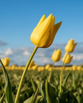 Gele Nederlandse tulpen bij zonsondergang van Saranda Hofstra