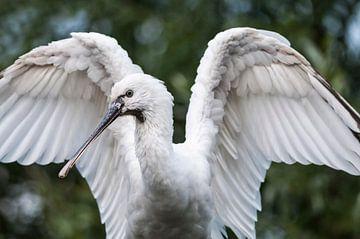 Spooner : Tierpark Blijdorp von Loek Lobel