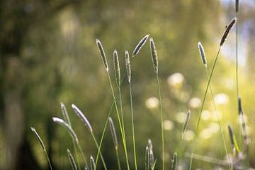 Art von Mais auf der Uferpflanze mit Bokeh von Frank Ketelaar