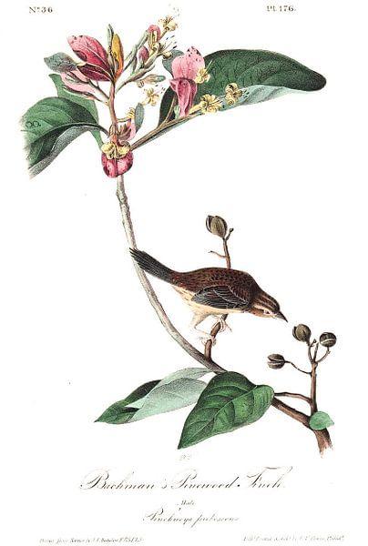 Dennengors van Birds of America