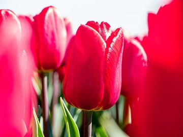 Rote Tulpe Nahaufnahme von Karin Schijf
