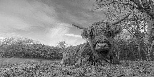 Schotse Hooglander in Zwartwit van