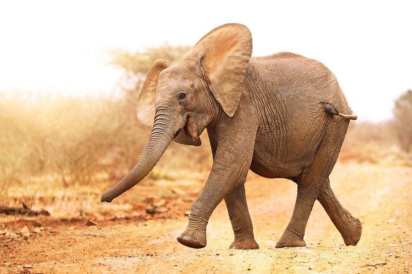 Junger Elefant läuft ins Licht, Südafrika von W. Woyke