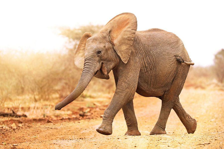 Junger Elefant läuft ins Licht, Südafrika