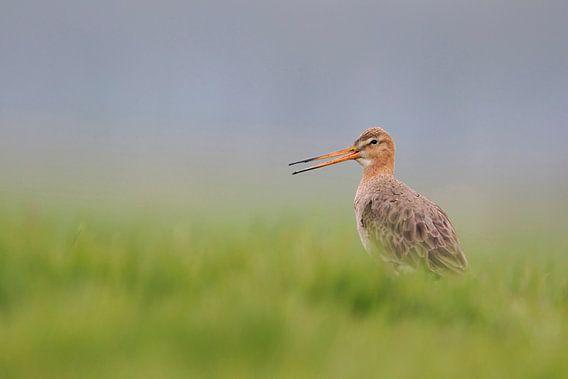 Black-tailed Godwit ( Limosa limosa), calling