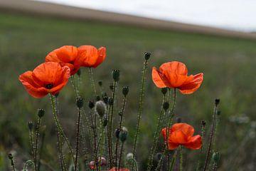 Rode klaprozen in een veld of grasland in de zomer van Leoniek van der Vliet