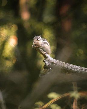 Sibirisches Eichhörnchen von Kevin IJpelaar
