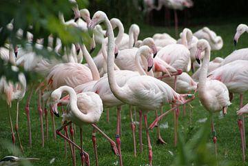 Flamingo's van Ronald en Bart van Berkel