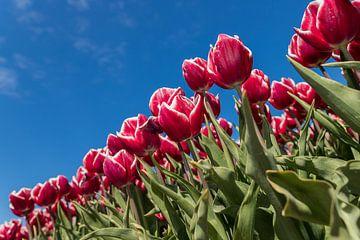 Rood witte tulpen
