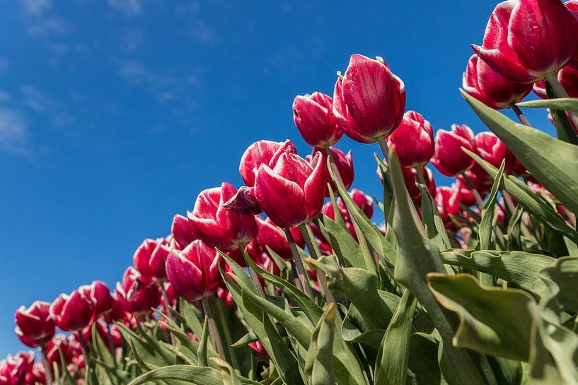Rood witte tulpen van Elly Damen