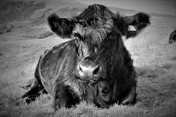 Schotse hooglander van Hannelore