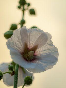 Weiße Stockrose von Martijn Wit