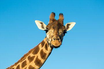 Giraffe von sophiimage