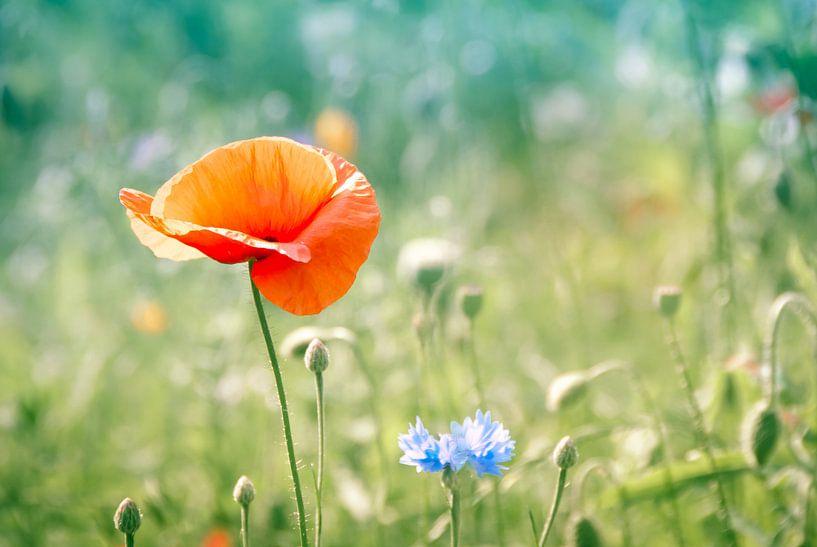 Klaproos in blauwgroen veld van Arja Schrijver Fotografie