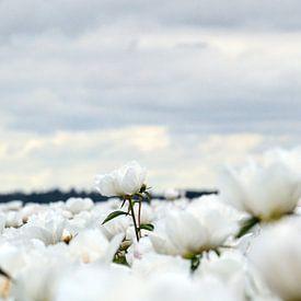 Witte pioenroos van Aafke's fotografie
