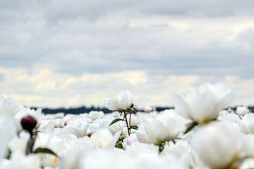 Witte pioenroos sur Aafke's fotografie