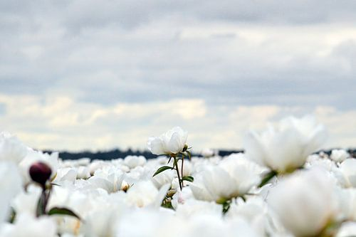 Witte pioenroos van