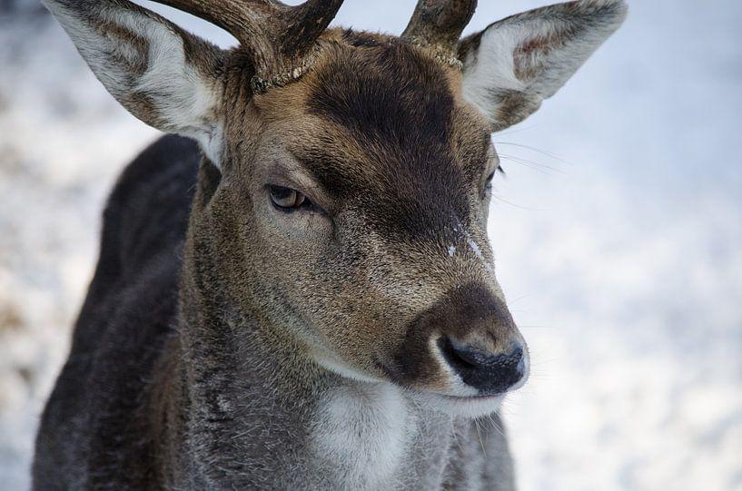 Hert in Oisterwijkse bossen van Ronne Vinkx