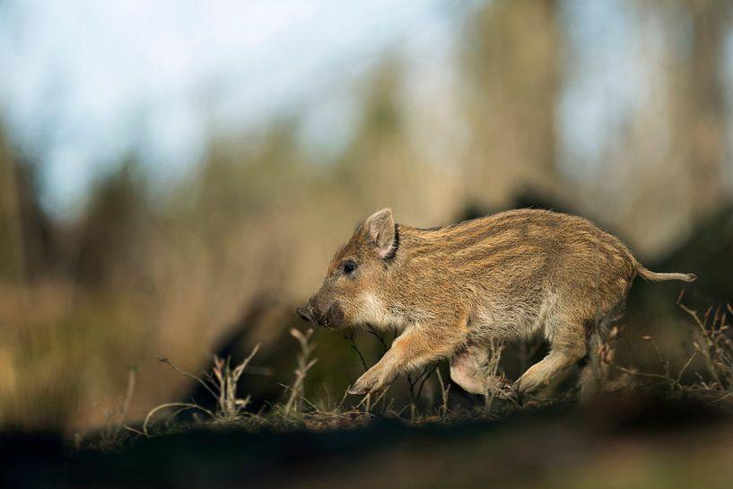 Shoat of Wild Boar (Sus scrofa) runs larking through the woods van wunderbare Erde